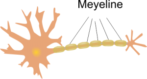 Zenuw meyeline